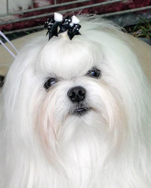 Pies Antonio Kryształowe Magnolie