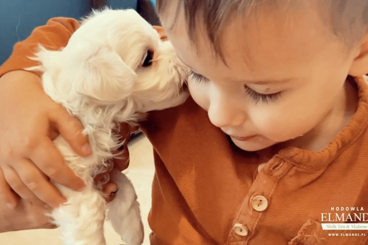 Szczeniak Maltańczyk w rękach małego chłopca przytula się